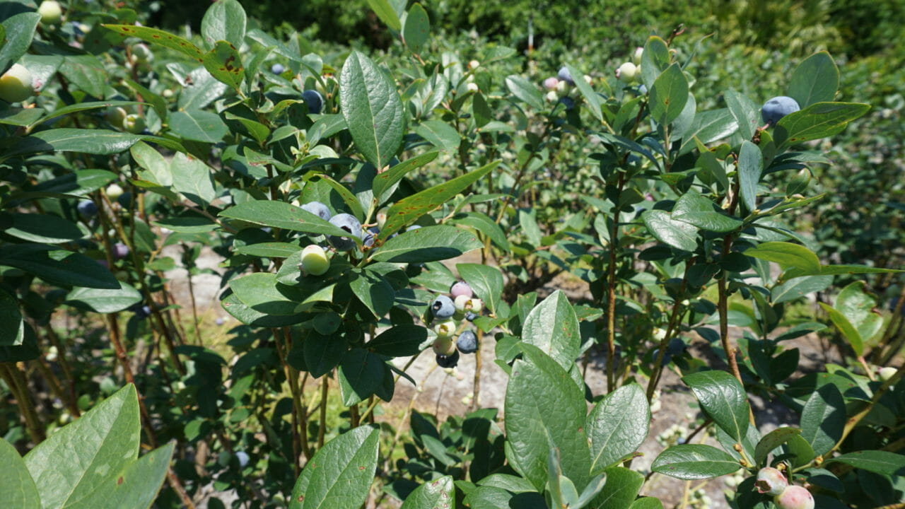 Healthy blueberry bushes