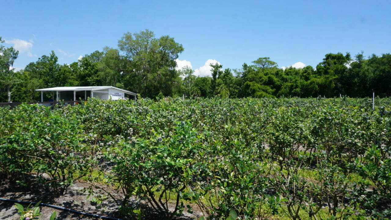 Blueberry fields at Ever After Farms in Mims