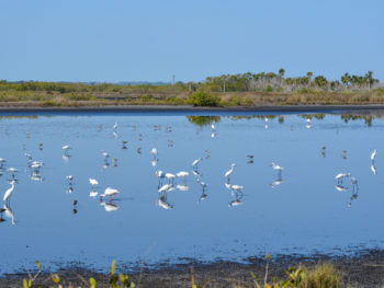 Birding at Merritt Island NWR