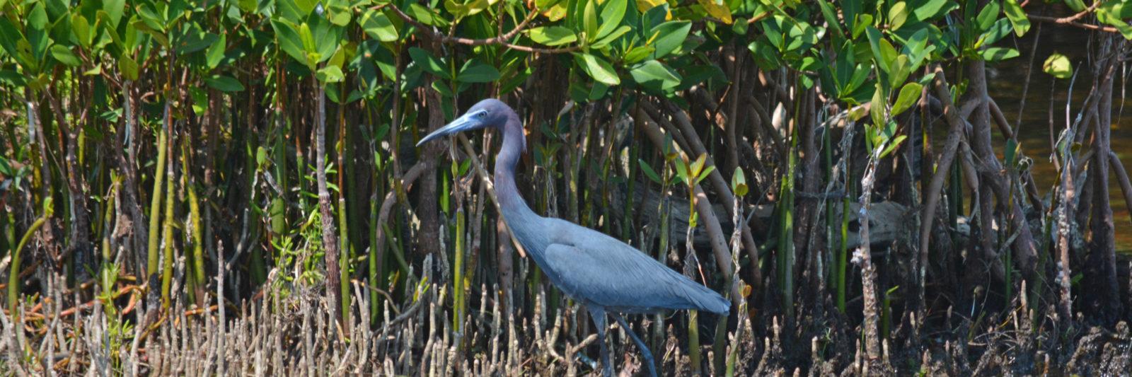 Ding Darling little blue heron