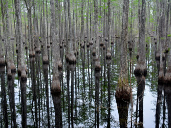 Cypress swamp at Pine Log State Forest