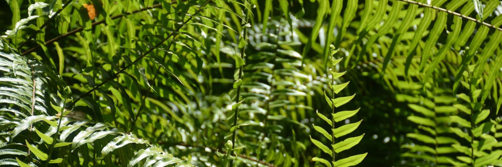 Fakahatchee ferns