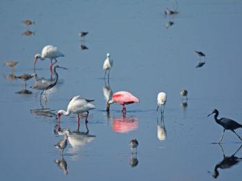Birding season at Merritt Island NWR