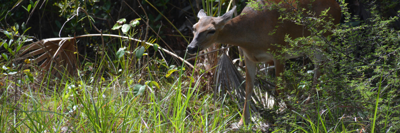 Key Deer on Big Pine Key