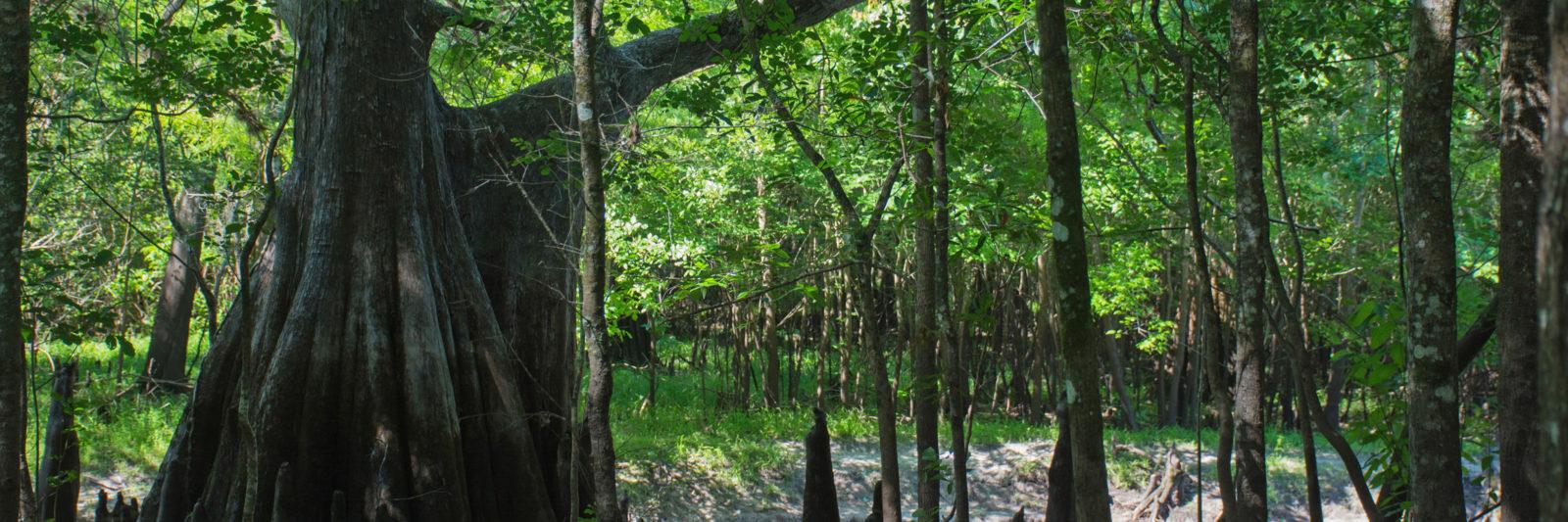 River Loop cypress