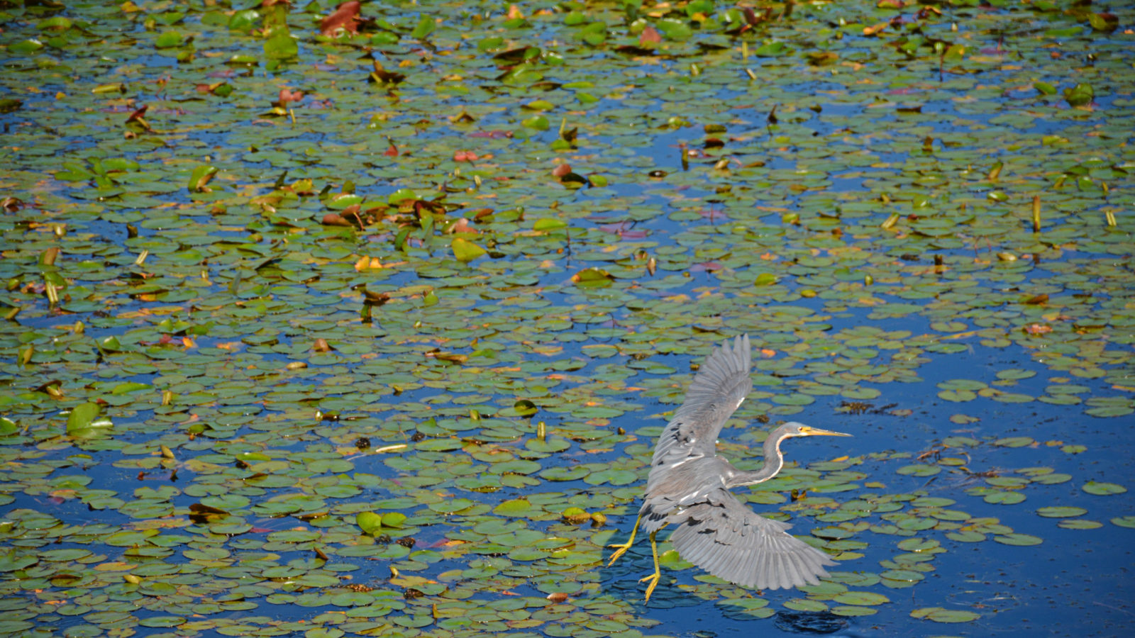 Tricolor heron at Headquarters Pond