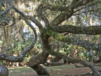 Fairchild Oak
