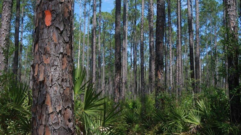 Florida Trail in Pine Log
