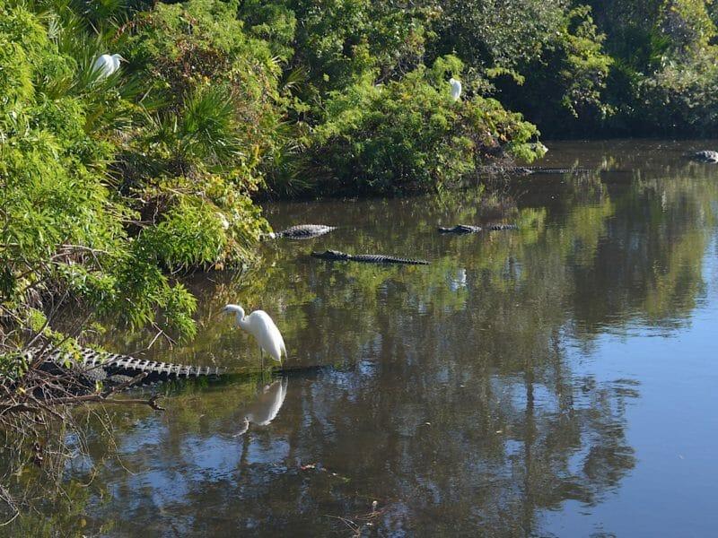 Gatorland breeding marsh