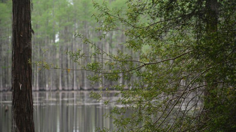 Still Pond Pine Log