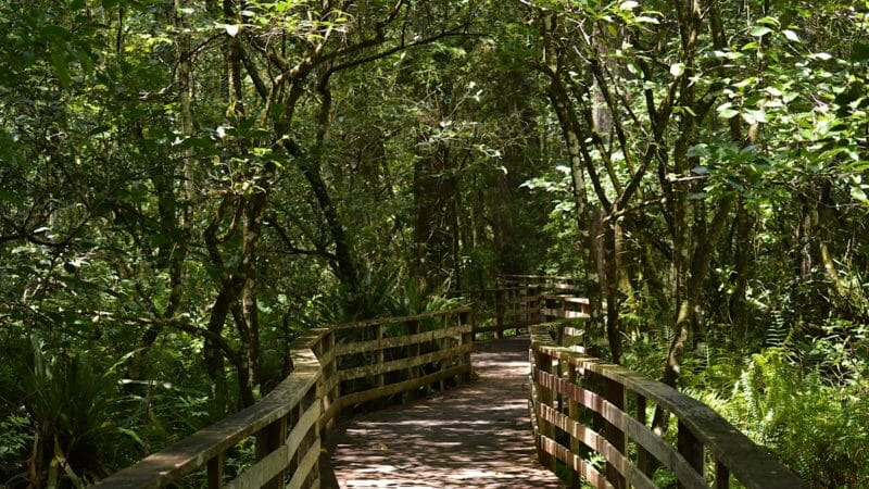 Winding boardwalk through pond apples Corkscrew