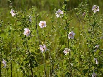 pink swamp hibiscus