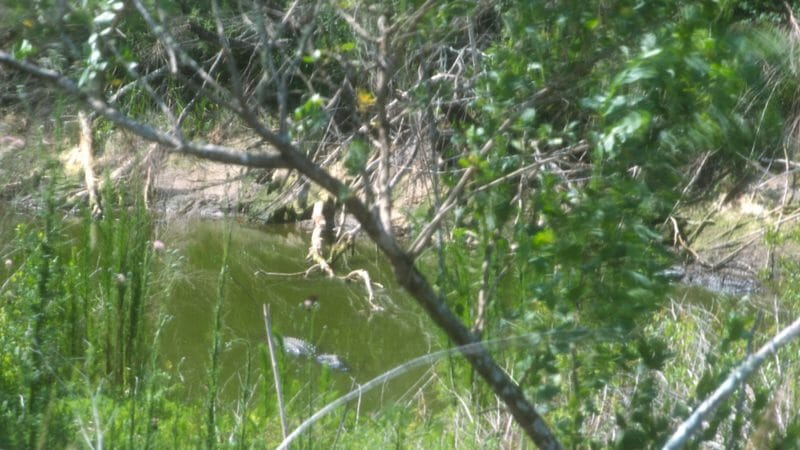 Alligators in Cones Dike pond