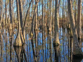 Tupelo swamp