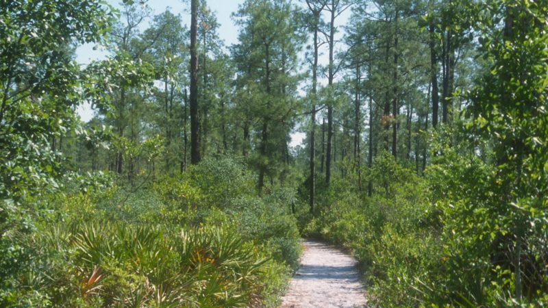 Chacala Trail pines