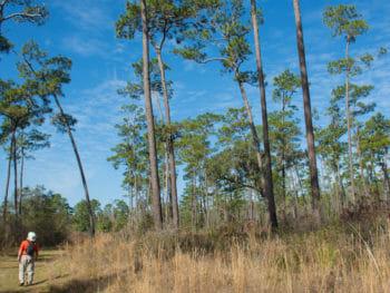 Chinsegut Big Pine Tract
