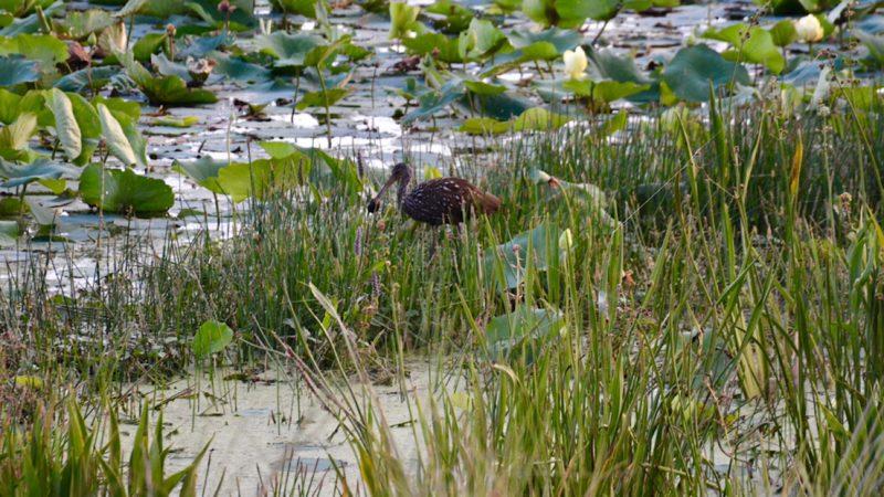Limpkin Sweetwater Wetlands