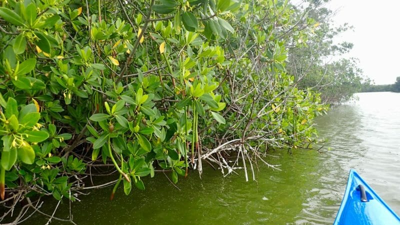 Paddling along mangroves