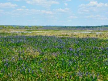 Paynes Prairie blooms
