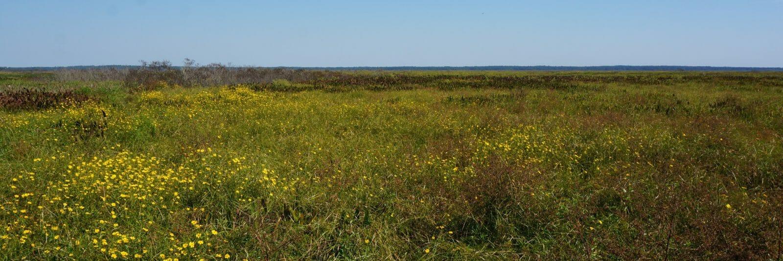 Paynes Prairie sunflowers
