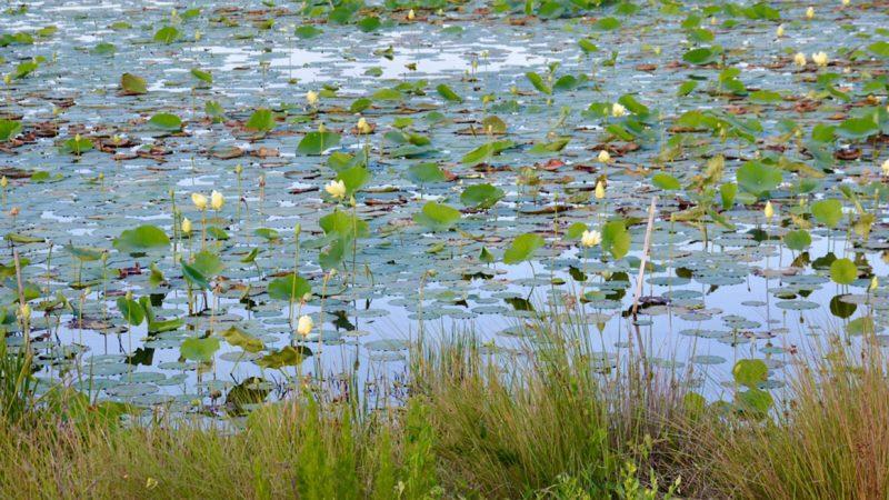 American lotus in bloom