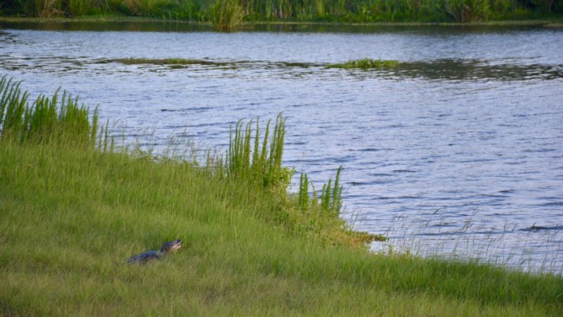 Alligator Sweetwater Wetlands