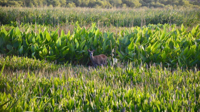 White-tailed deer in marsh