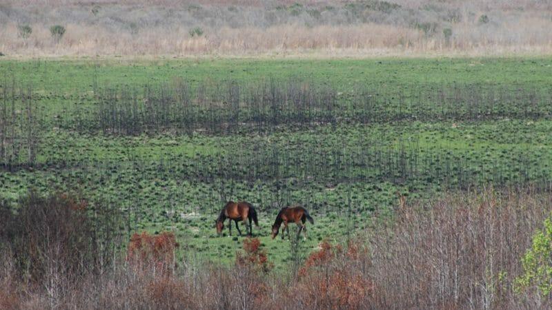 Wild horses Paynes Prairie