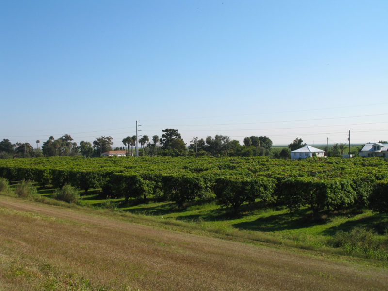 Mango grove in Pahokee