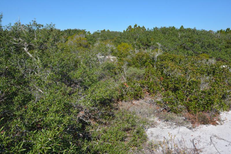 Perdido Key scrub forest