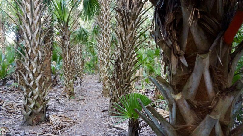 FT Micco Bluff palm hammock