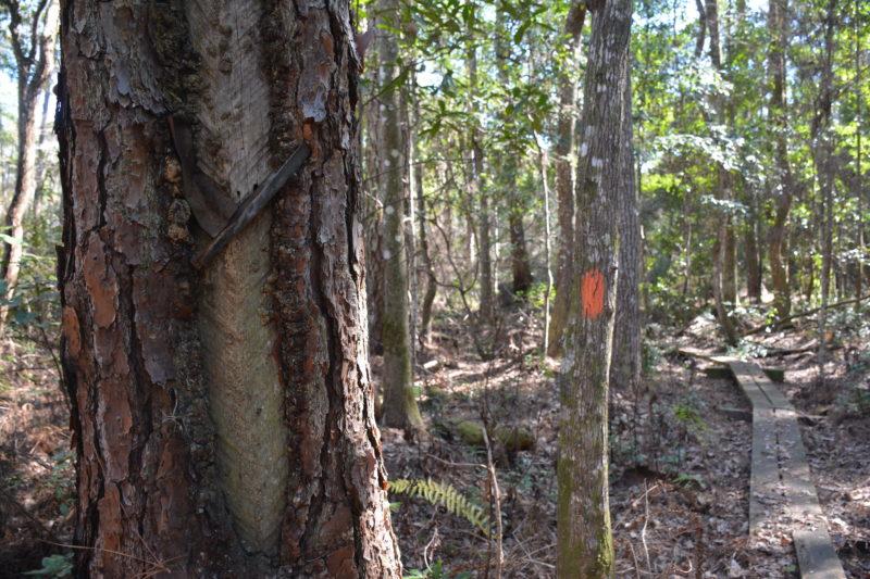 Catfaced pine Ocala