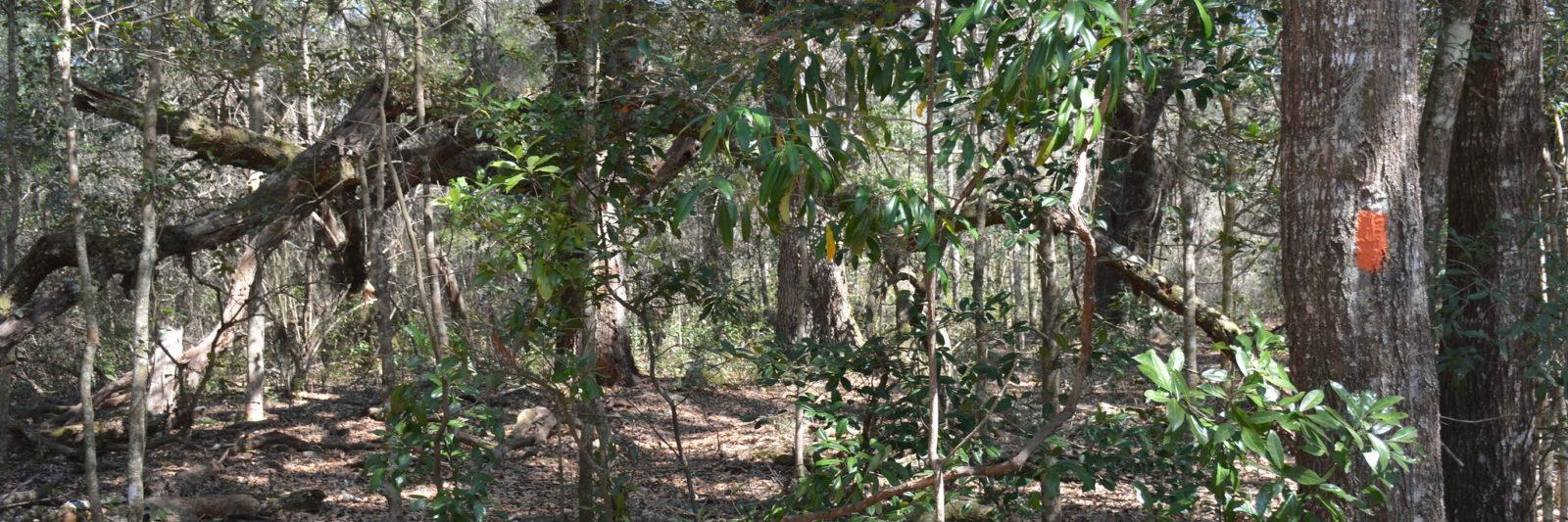 Oak hammock Ross Prairie Loop