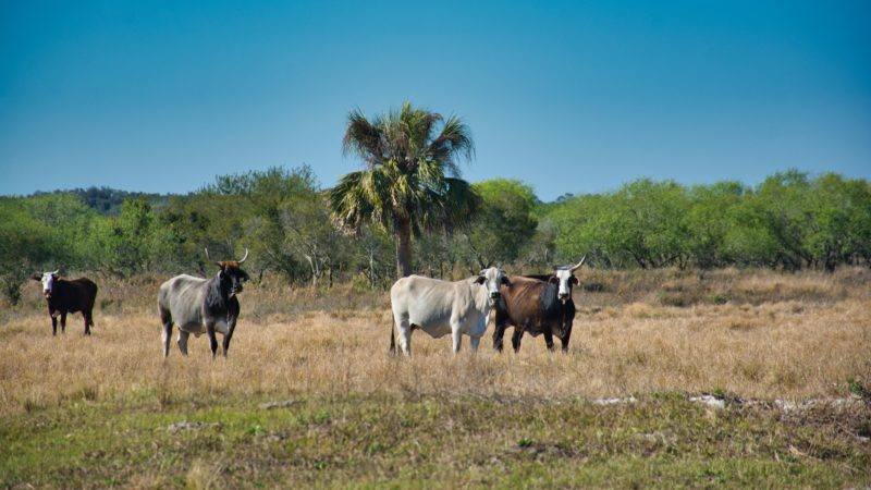 Cattle at KICCO