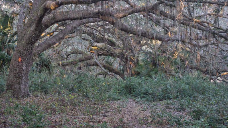 FT KICCO oak hammocks