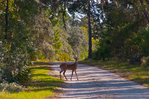 Deer in Seminole State Forest