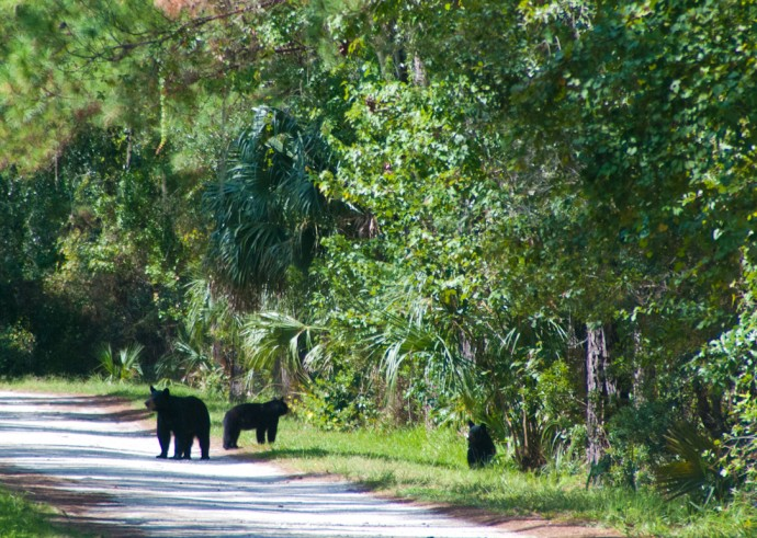 Three bears at Black Bear Wilderness