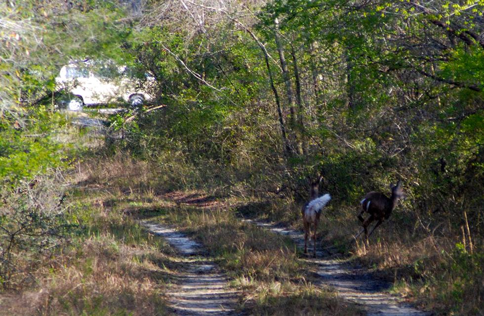 Deer dashing away as we return to the northern trailhead