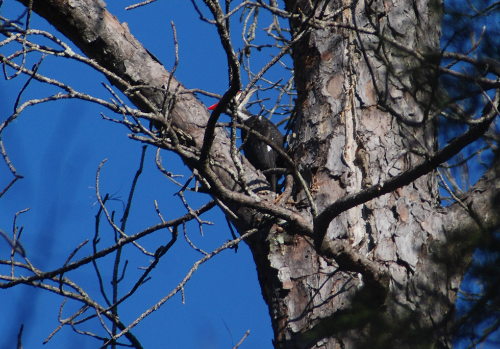 Piliated woodpecker busy building a nest