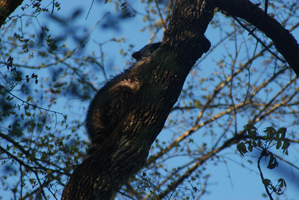 Raccoon climbing a tree over the river
