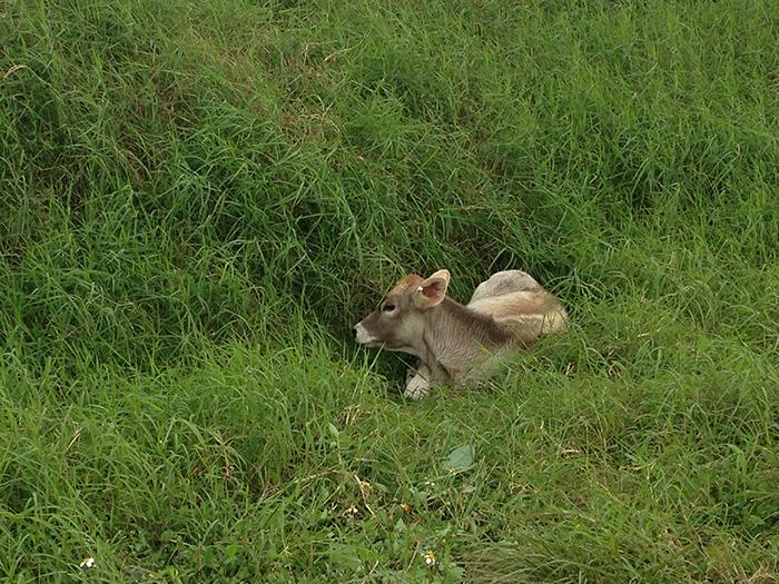 Escaped calf
