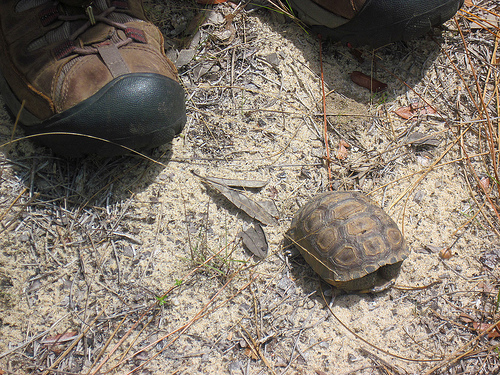 Tiny gopher tortoise