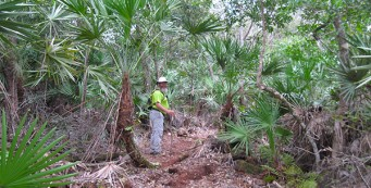 Among the giant saw palmettos