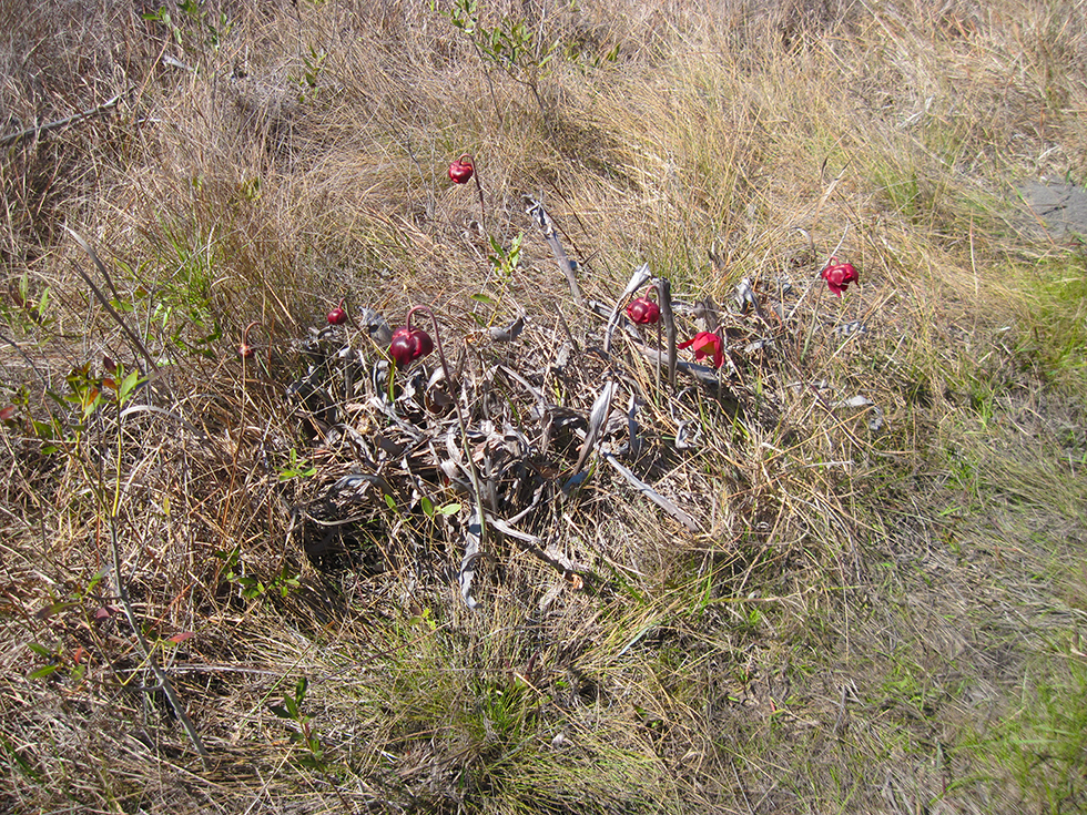 Beds of old pitchers and new blooms at Garcon Point