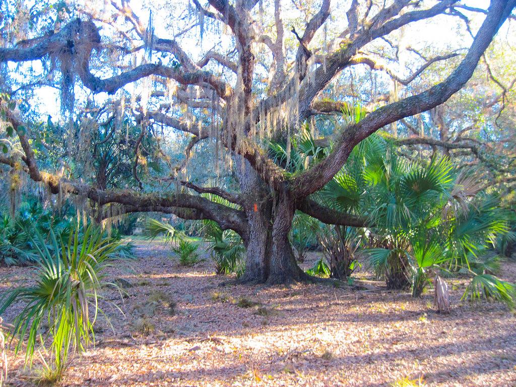 Ancient oak in Long Hammock
