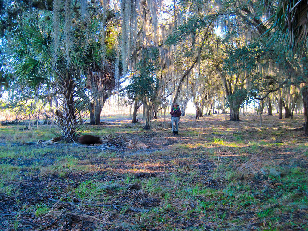 Wild hogs make a beeline for the woods