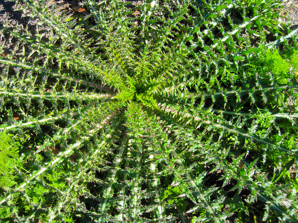 The symmetry of thistle