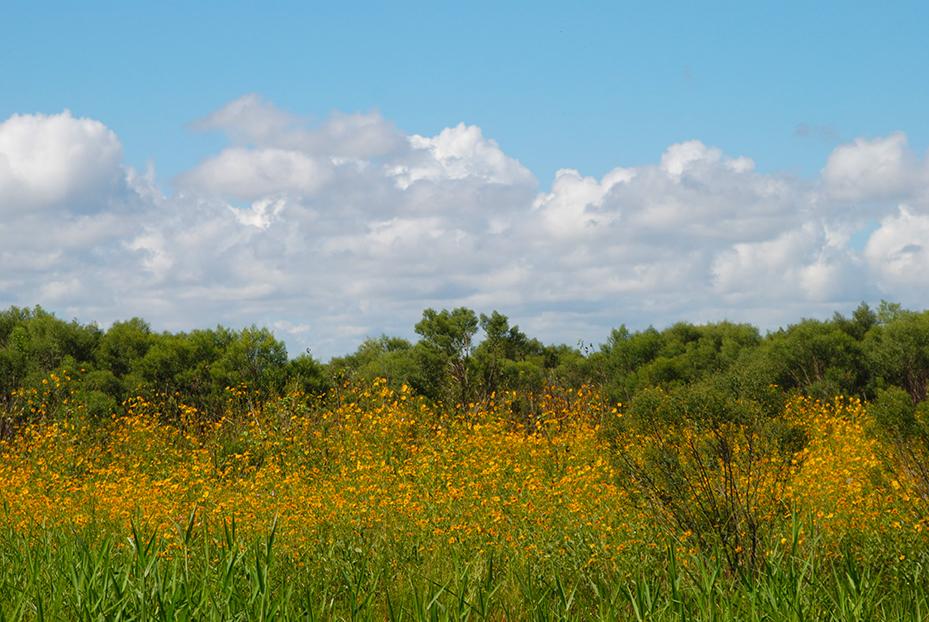 Lake Jesup Wilderness sunflowers