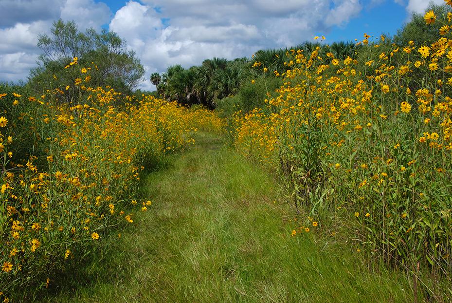 Lake Jesup Wilderness sunflowers (3)