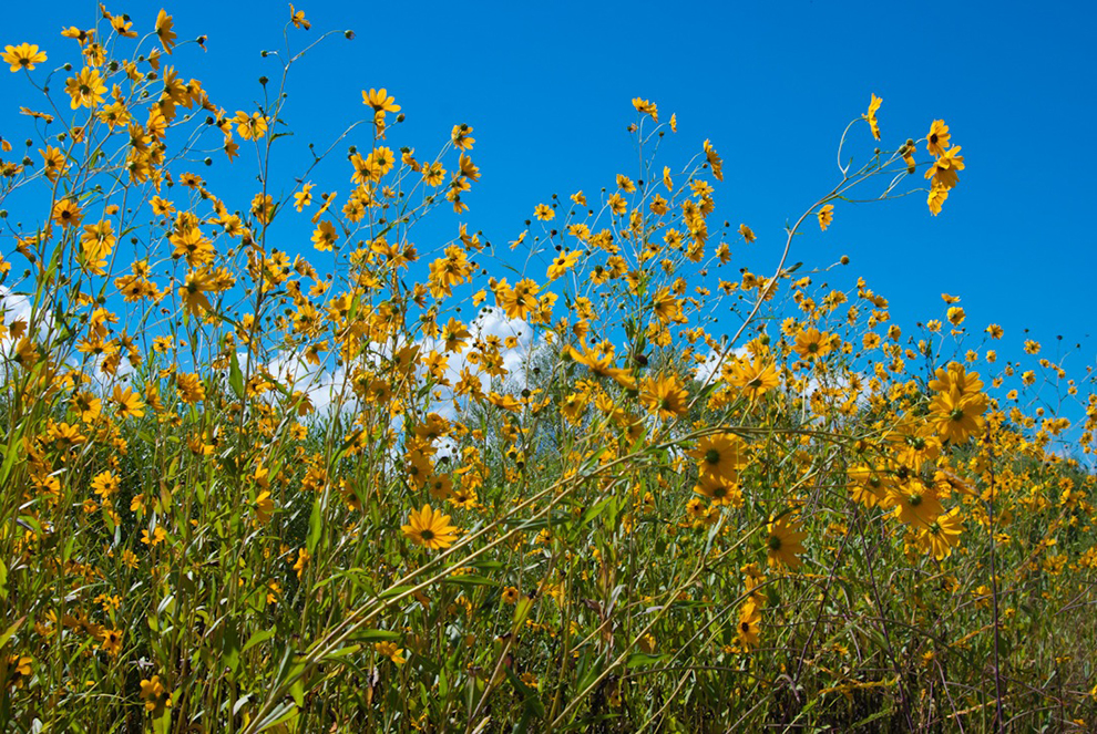 Sunflowers surround you at Lake Jesup Wilderness